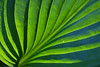Stylized hosta leaf