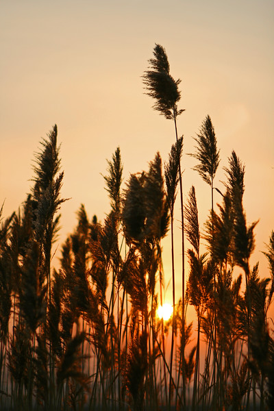 Sunrise through the feather grass