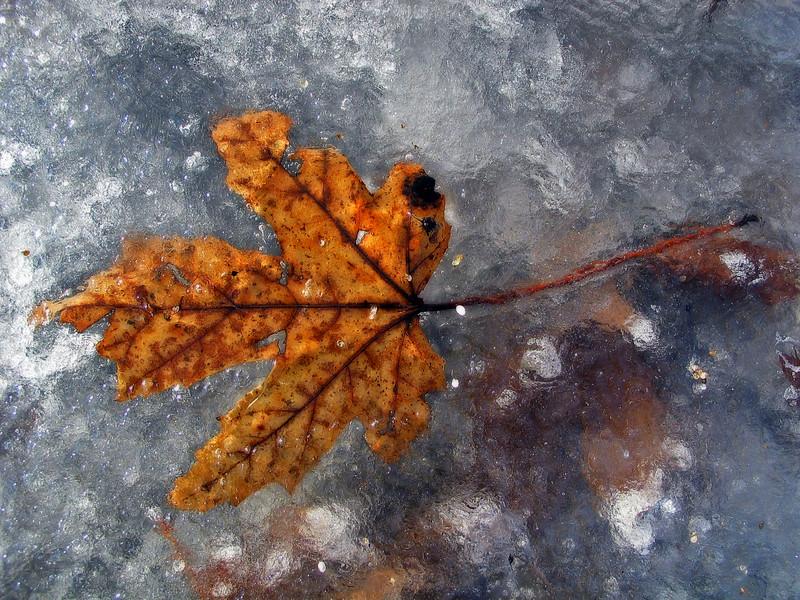 Frozen maple leaf