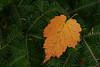 Leaf in Pine