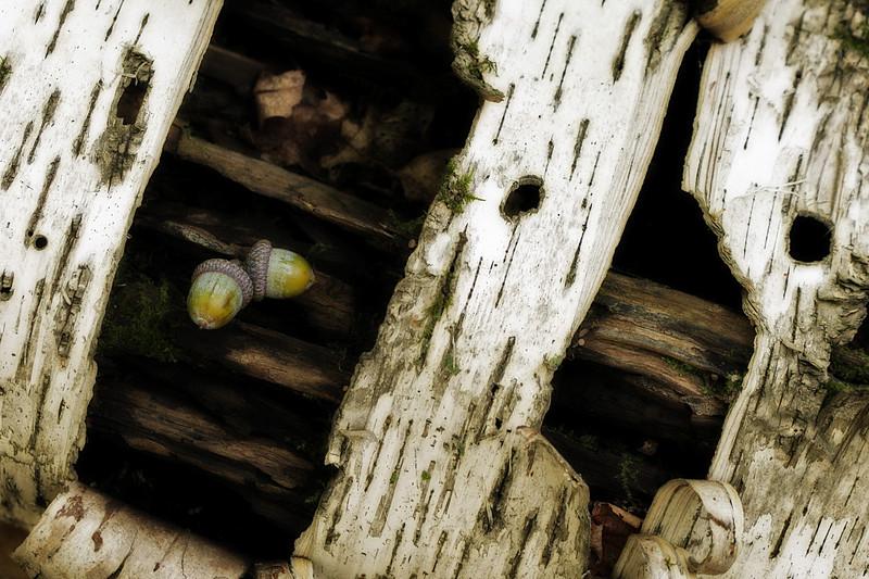 Acorns on birch log