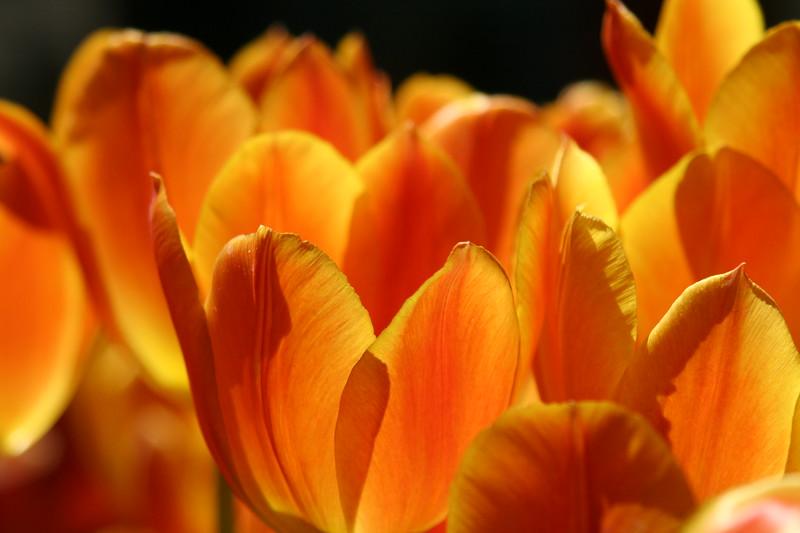 Tulips, Bellagio, Las Vegas