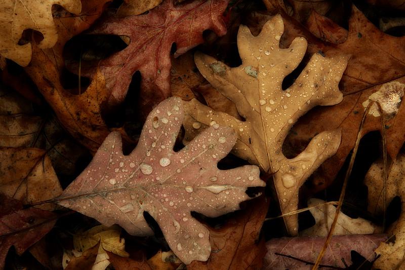 Wet oak leaves