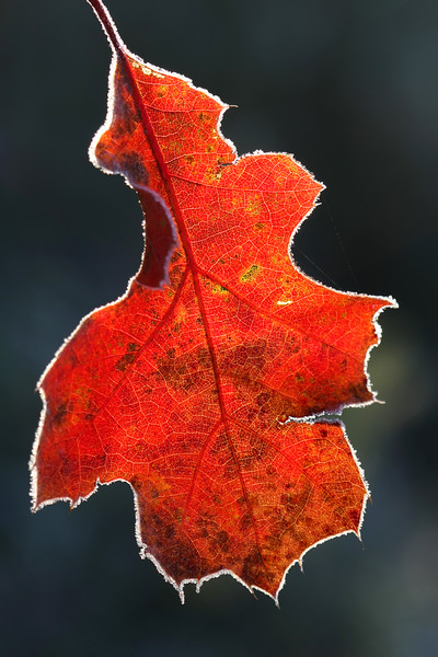 Backlit oak leaf with frost