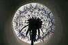 Backlit dandelion, Shakopee MN