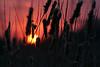 Cattail sunset, Shakopee, MN