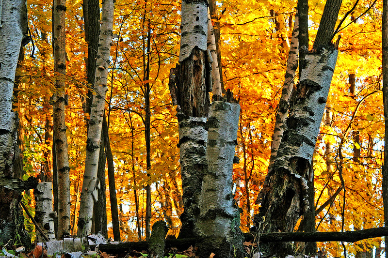 Birch trees ablaze