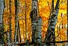 Birch trees ablaze