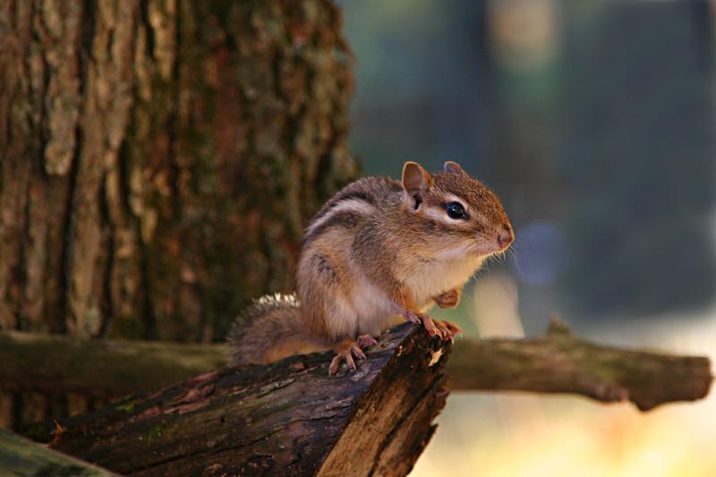 Linden Lake chipmunk