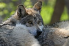Mexican wolves, MN Zoo