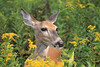 Doe in goldenrod