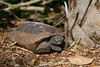 North Captiva gopher tortoise
