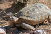 Desert tortoise, Red Rock, NV