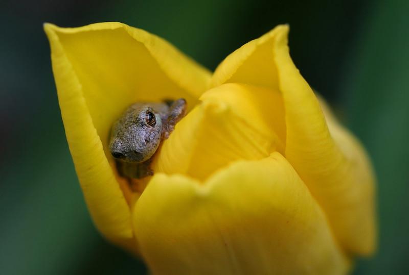 Tree frog in tulip, Shakopee MN