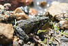 Endangered cricket frog