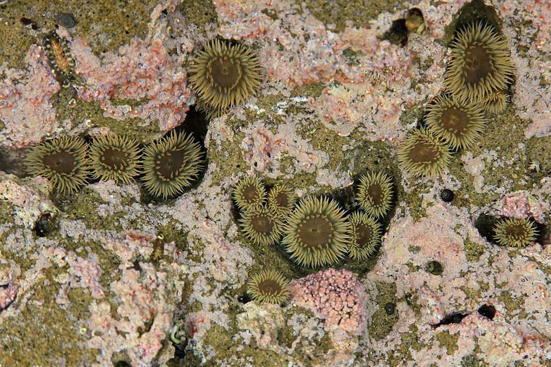 Tidepool anemones