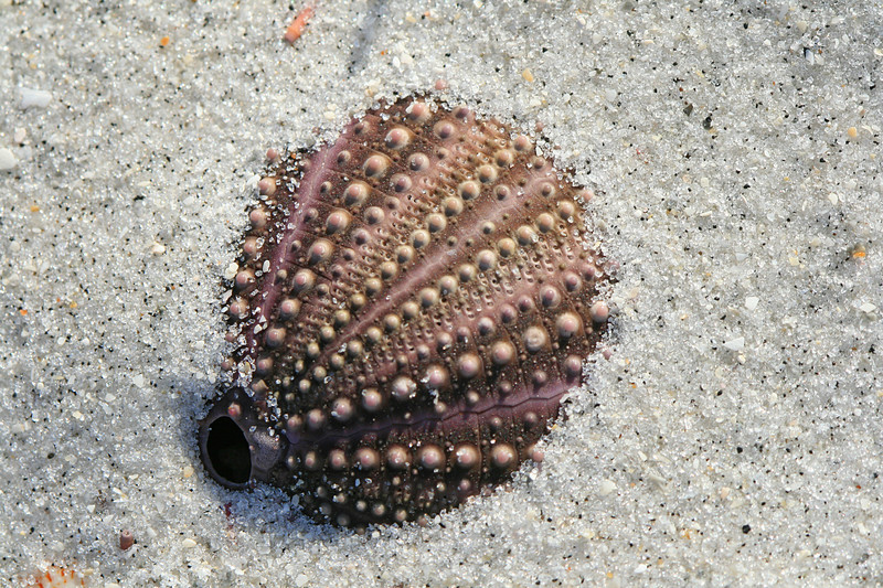 Sea urchin in sand