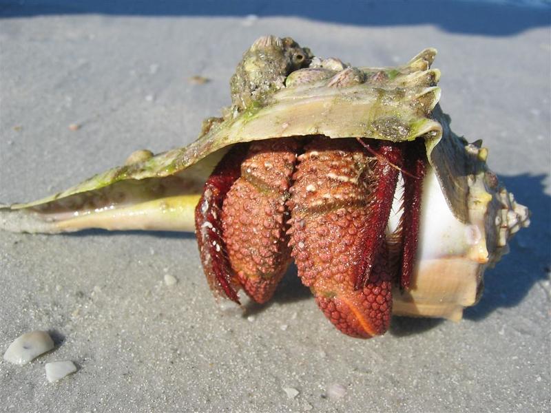Hermit crab on Cayo Costa