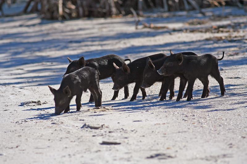 Cayo Costa piglets