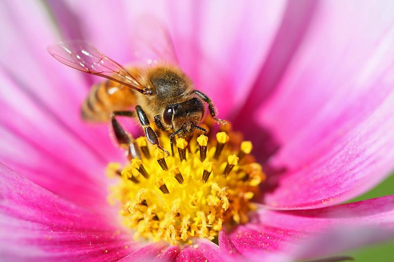 Honey bee on cosmo