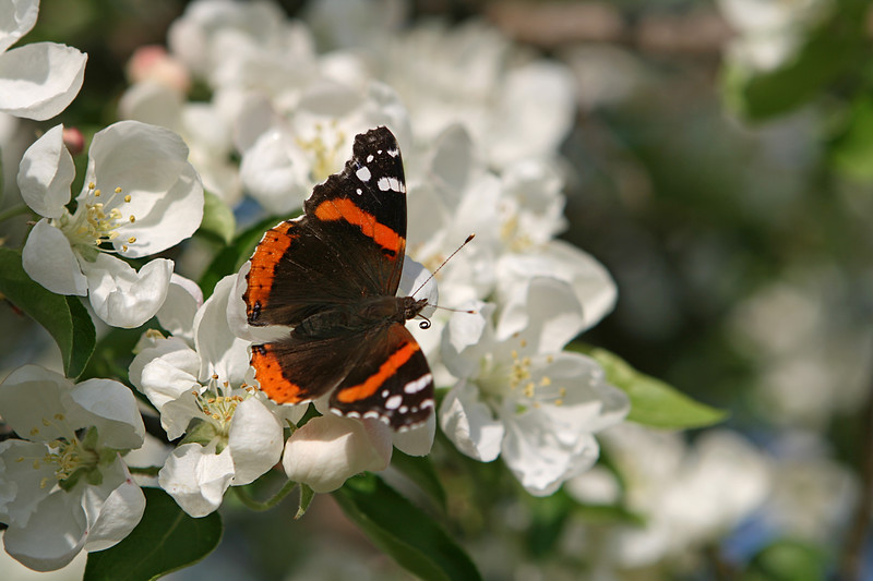 Butterfly on apple blossoms