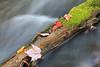 Maple leaves on log in stream
