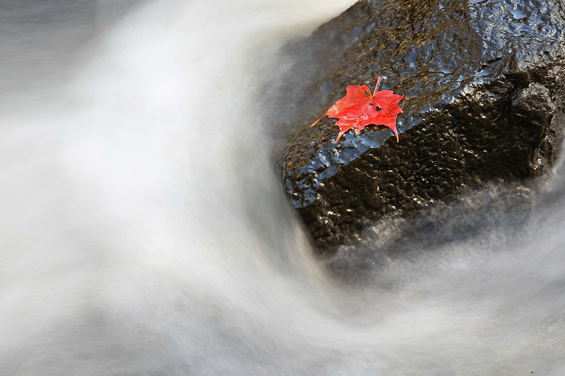 Maple leaf on rock in stream