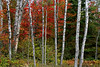 Fall colors with birch, maple, and pine