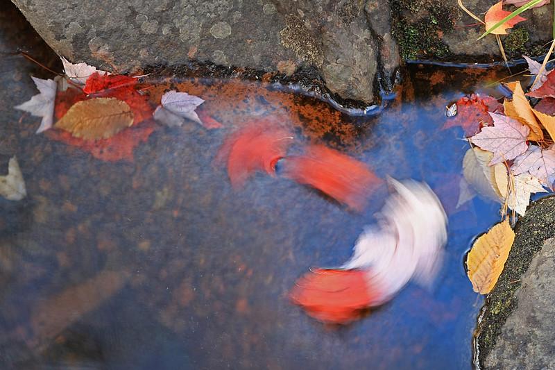 Maple leaves swirling in pool