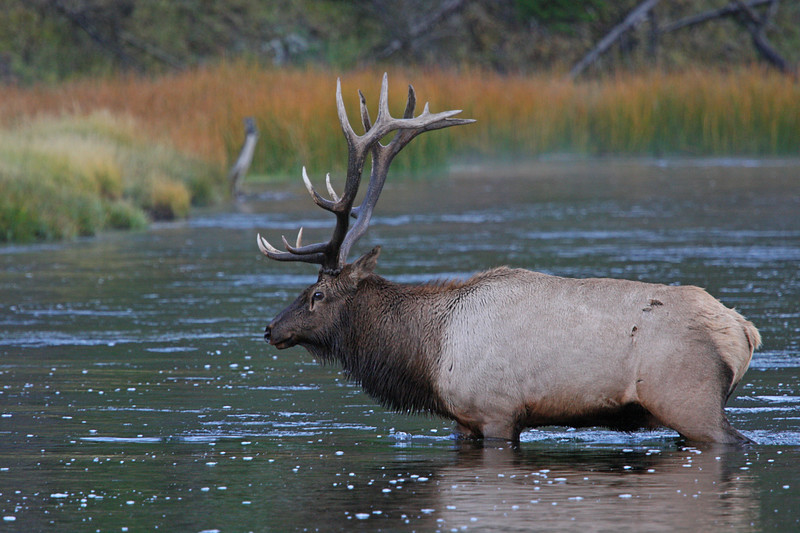 Bull elk crossing the river