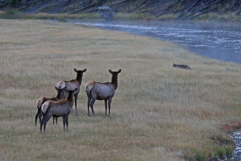 Elk warily watching coyote