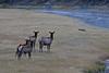 Elk warily watching coyote