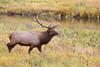 Bull elk in fall colors