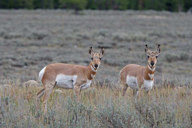 Baby pronhorn antelope