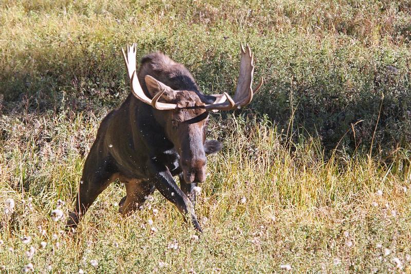 Bull Moose charging