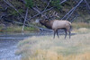 Bugling elk on steamy Madison river