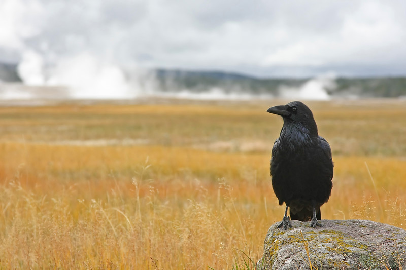 Raven at the thermals