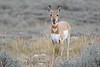 Baby pronghorn antelope