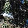 Black-crowned Night Heron Alone