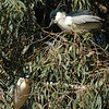 Black-crowned Night Heron Couple