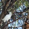 Snowy Egret Alone