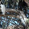 Snowy Egret Couple