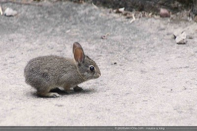 A baby rabbit is called a kit.