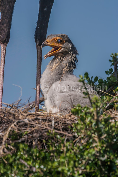 Chick of Secretary Bird shows happiness when the mother came to its nest in Masai Mara.