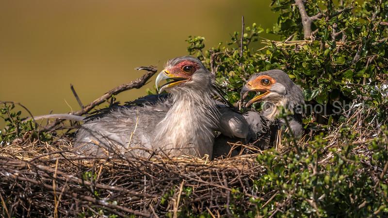 Secretary bird chicks in nest in Masai Mara,