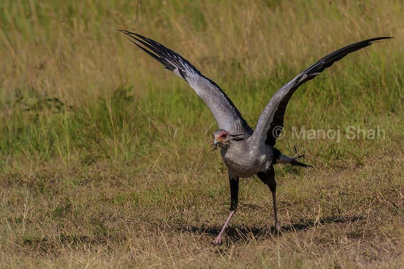 Secretary bird with a catch of grasshoppers in Masai Mara.