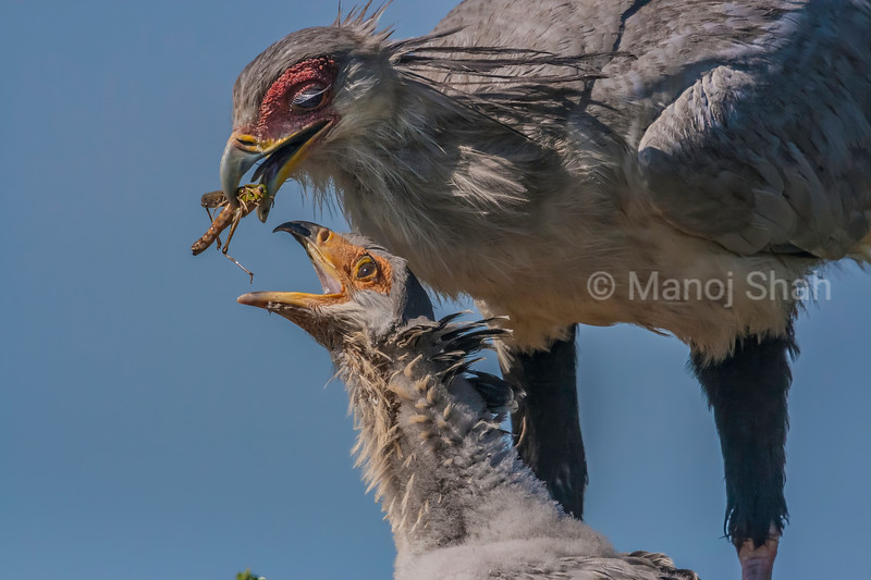 Secretary bird chick is being fed a grasshopper by mother in Masai Mara.