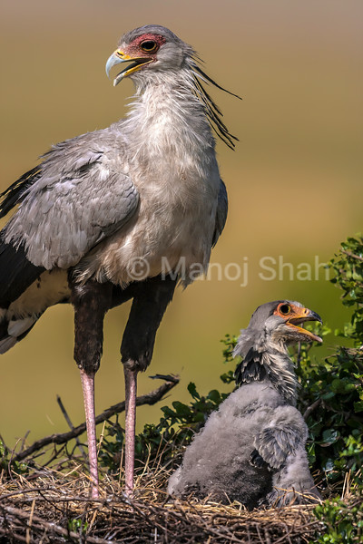 Secretary bird chick is is with his  mother in the nest in Masai Mara.