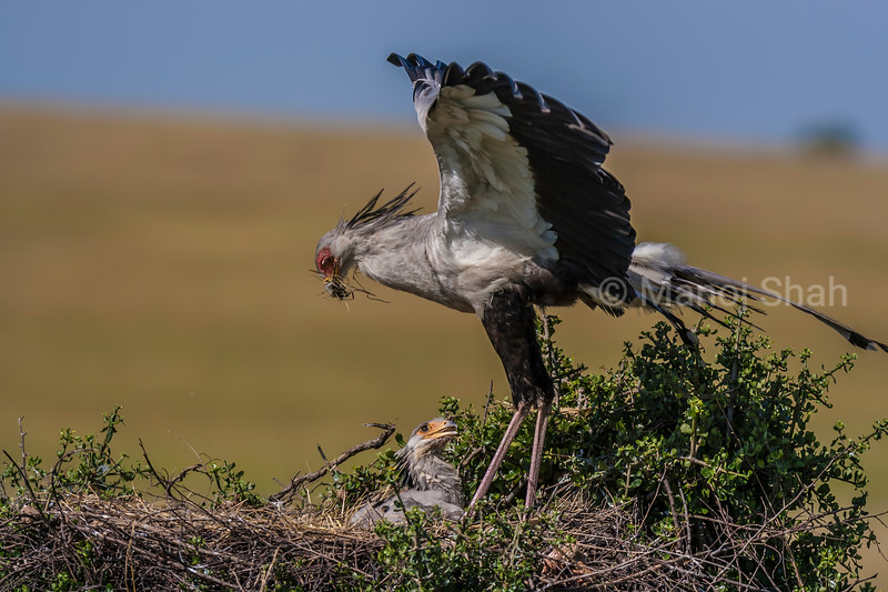 Secretary bird chick is being fed in the nest by  mother in Masai Mara.