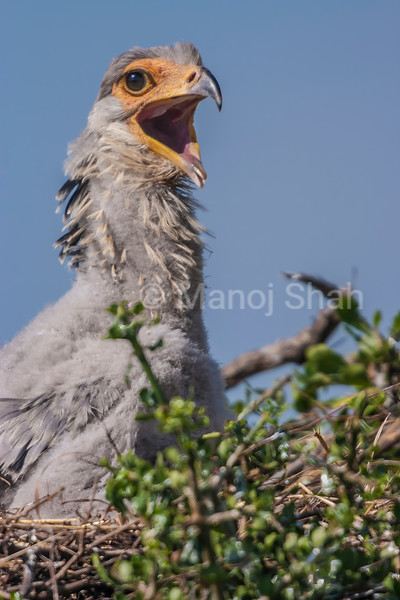 The secretary bird chick shows joy on seeing its mother fkying towards it in masai Mara.